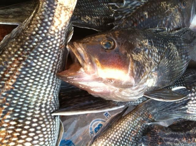 October 26 2014 virginia beach fishing center ltd for Rudee inlet fishing report