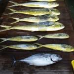 Red Drum & Sharks Inshore, Marlin, Tuna and Mahi Offshore