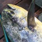 Sharks Inshore, Mahi Offshore