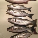 Rockfish lay on the deck