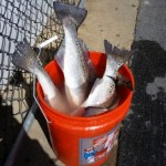 SPECKLED TROUT CAUGHT IN RUDEE INLET