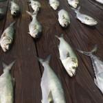 Bluefish Caught Around This Time Last Year