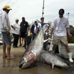 Angler Makes The Virginia Pilot With 204lb Big Eye Tuna!