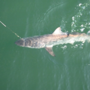 Weather Is Starting To Break, Sharks & Bluefish Inshore