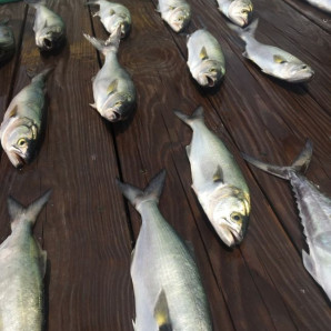 Bluefish Bite In Rudee Inlet